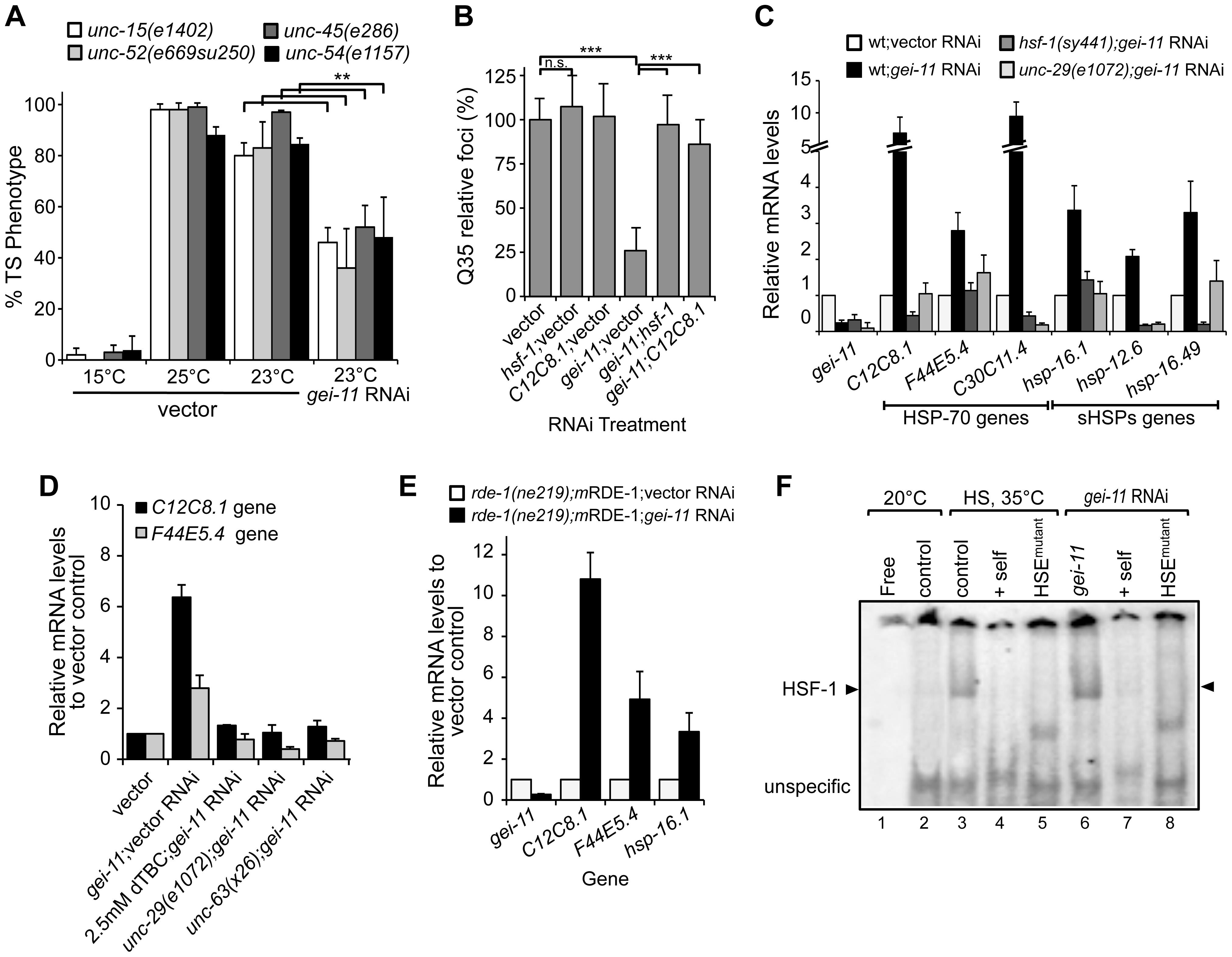 Rescue of proteostasis through HSF-1 activation.