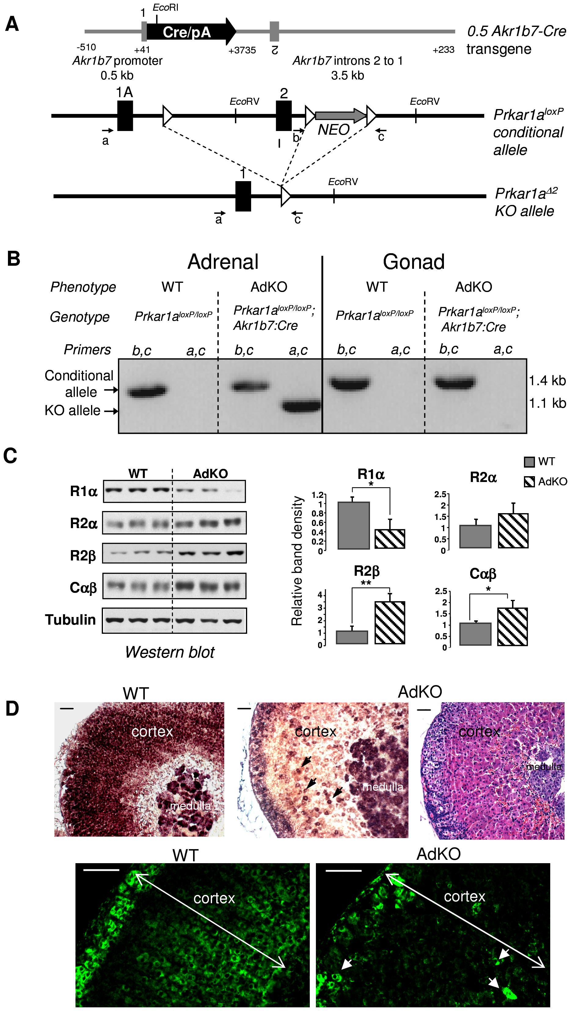 Generation of a conditional knockout for <i>Prkar1a</i> in mouse adrenal cortex (AdKO mice).