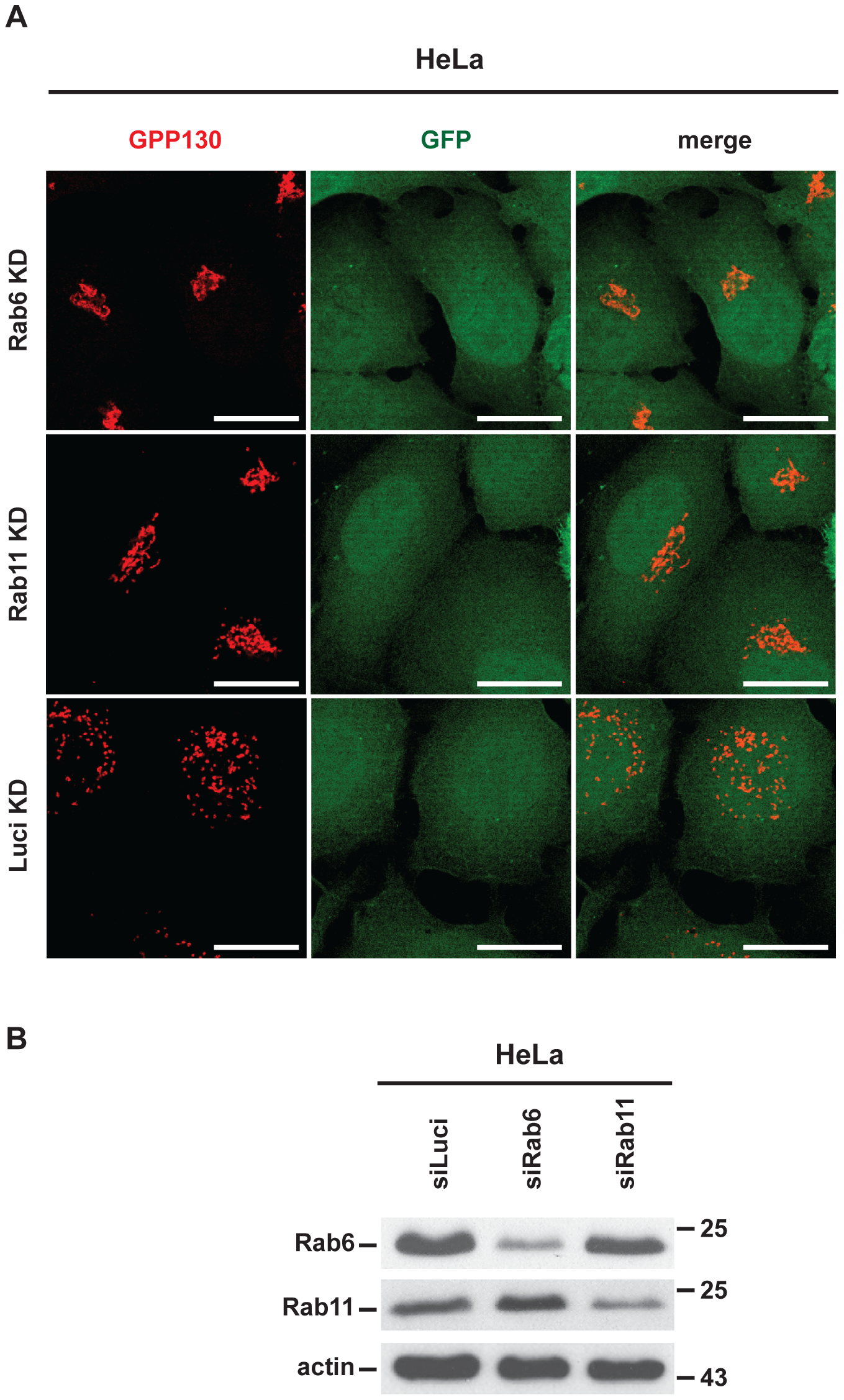 CPAF-induced Golgi fragmentation is Rab6A- and Rab11A-dependent in HeLa cells transiently expressing active CPAF.