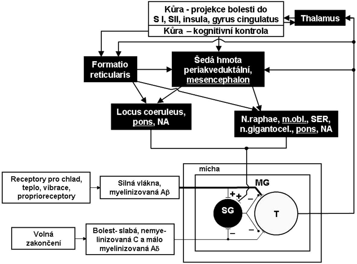 Schéma 1. Schéma regulace bolesti s vyznačením cévního zásobení a. vertebralis a jejích větví relevantních u FMS. Černá pole označují struktury zásobené výlučně z vertebrální artérie a aa.spin.post, šedé pole označuje možný přínos i a.spin.anterior.