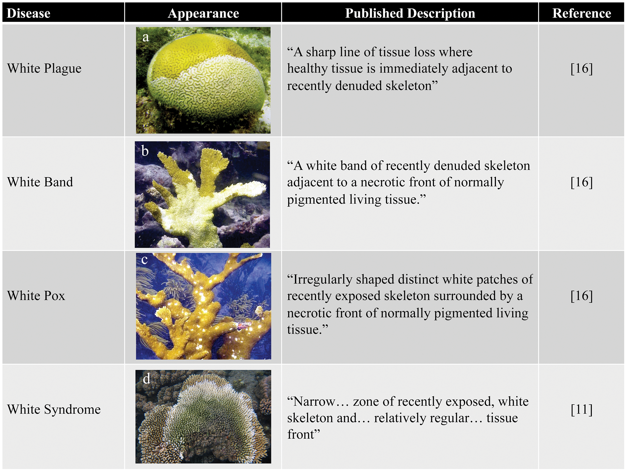 Examples of white diseases affecting Scleractinian corals.