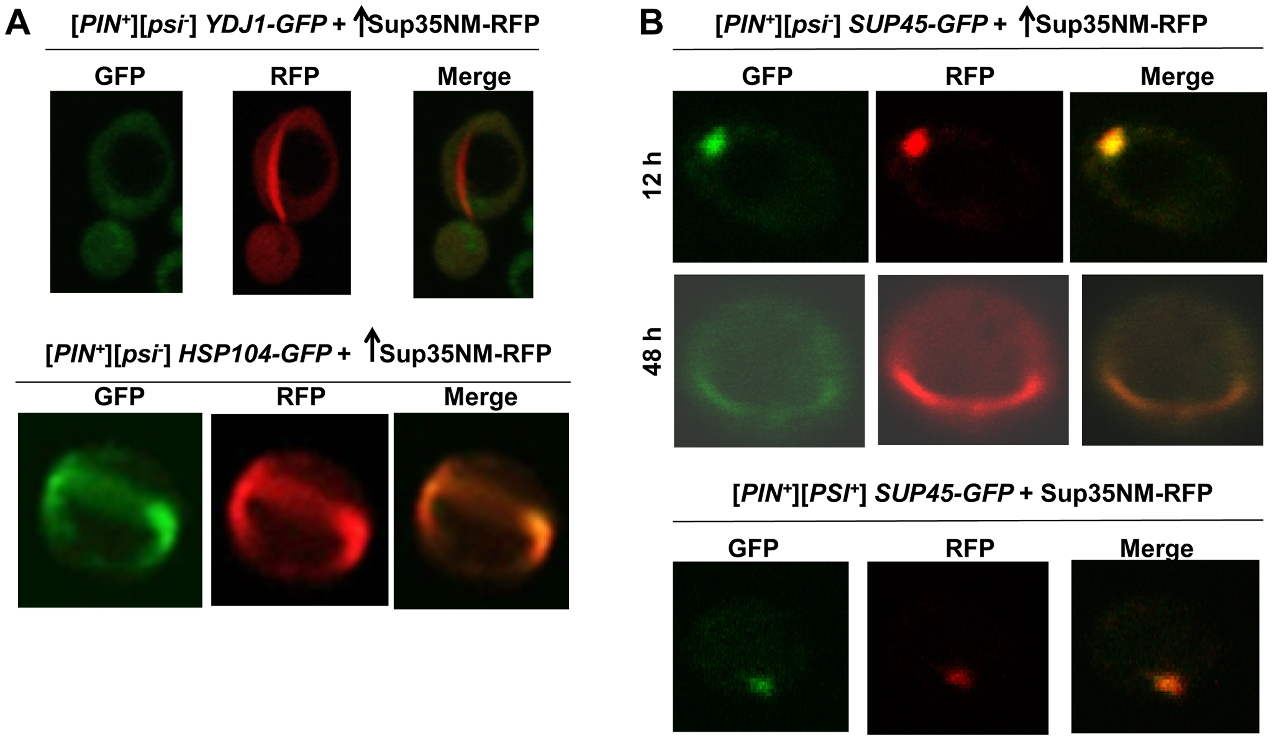 Induced Sup35 rings do not colocalize with Ydj1, but do colocalize with Hsp104 and Sup45.
