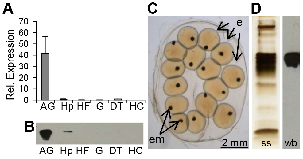 BgLBP/BPI1 is expressed in the albumen gland and is the major protein of <i>B. glabrata</i> egg masses.