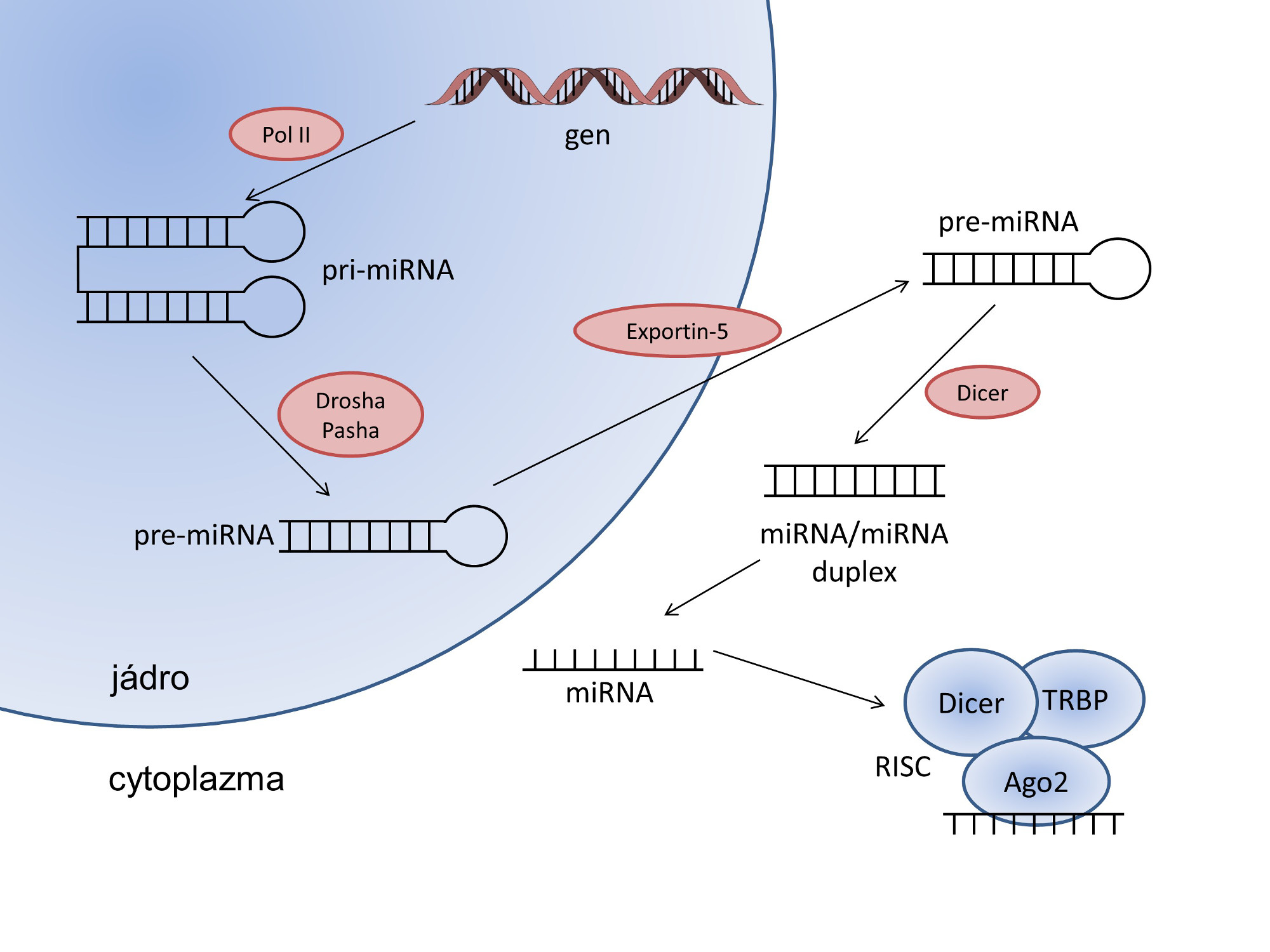 Schéma biogeneze mikroRNA