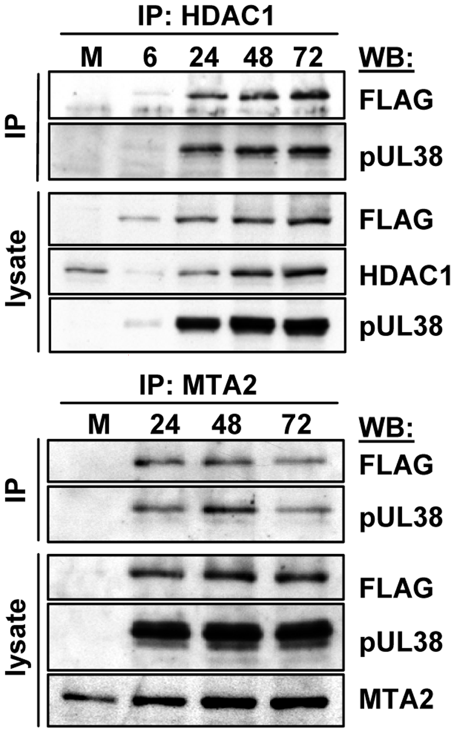 Accumulation of protein complexes during infection with BAD<i>in</i>UL29F.