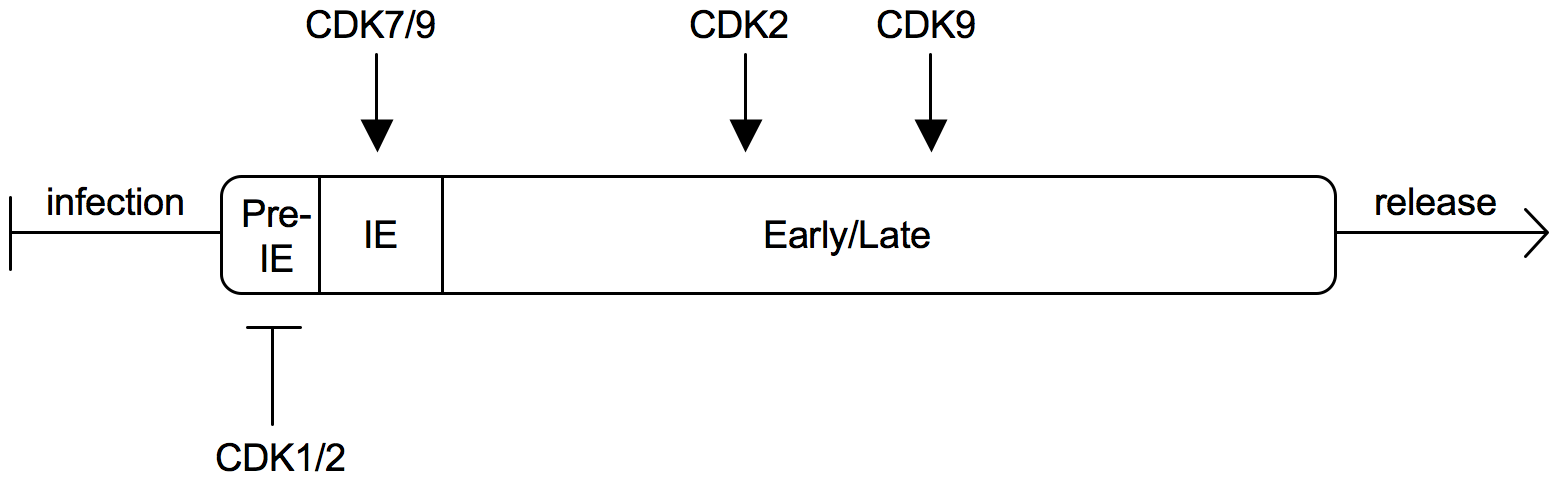Sequential regulation of the HCMV replication cycle by different CDKs.
