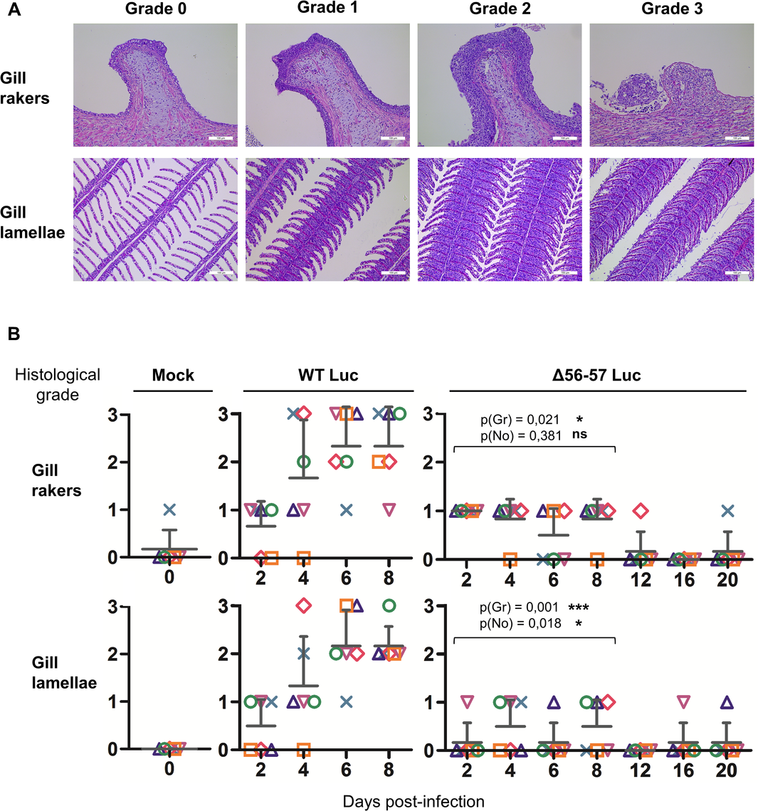Effect of the double ORF56-57 deletion on viral pathogenesis based on histopathological analysis of gills.
