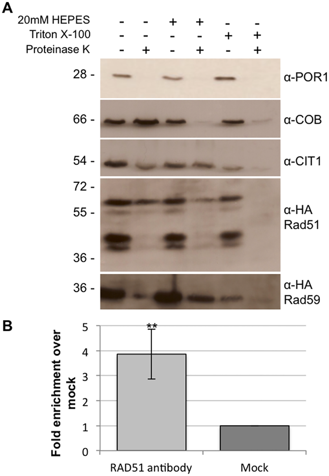 Rad51p and Rad59p localize to the mitochondrial matrix.