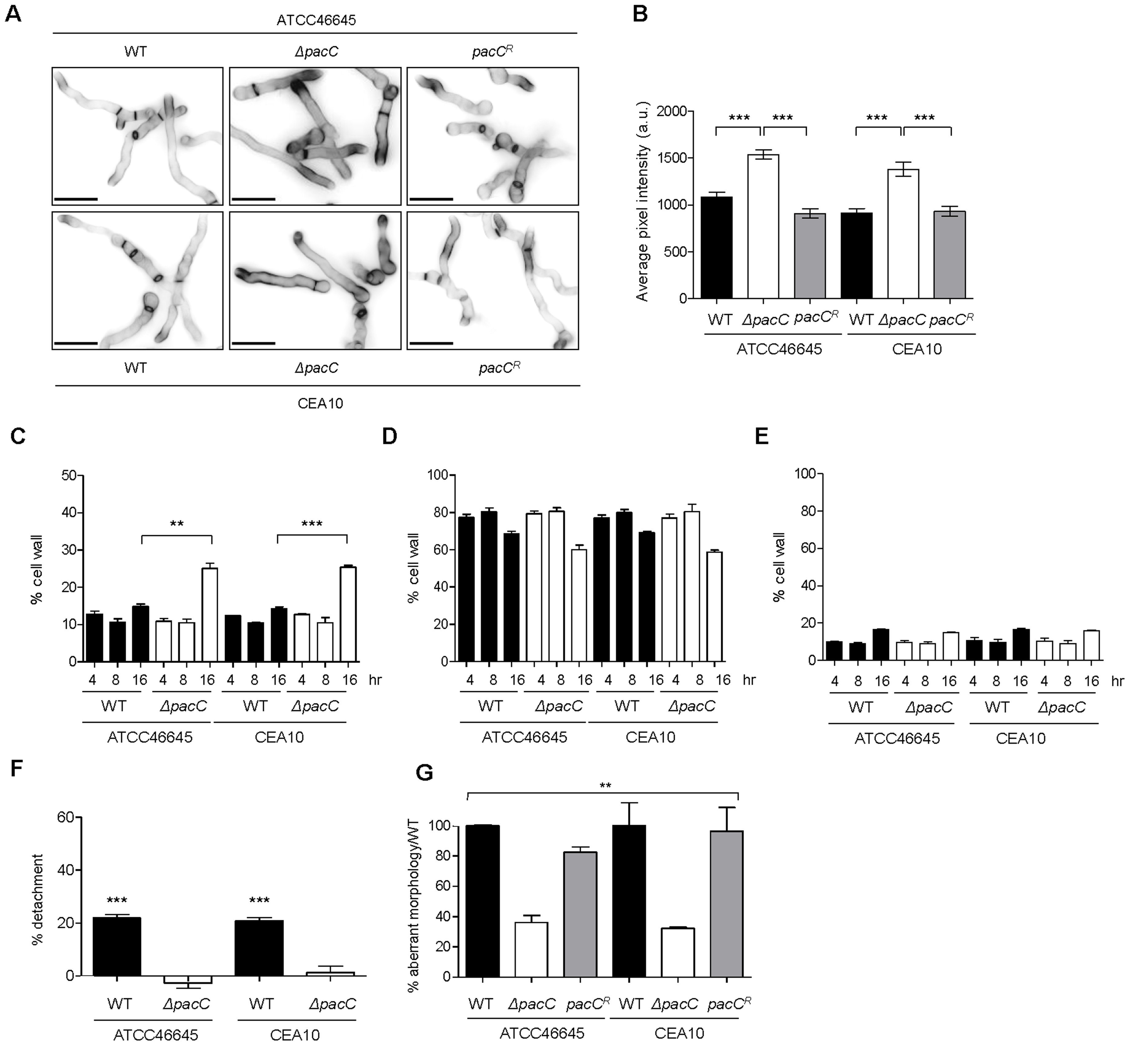 Aberrant morphology of <i>A. fumigatus ΔpacC</i> mutants impacts contact-mediated epithelial decay.