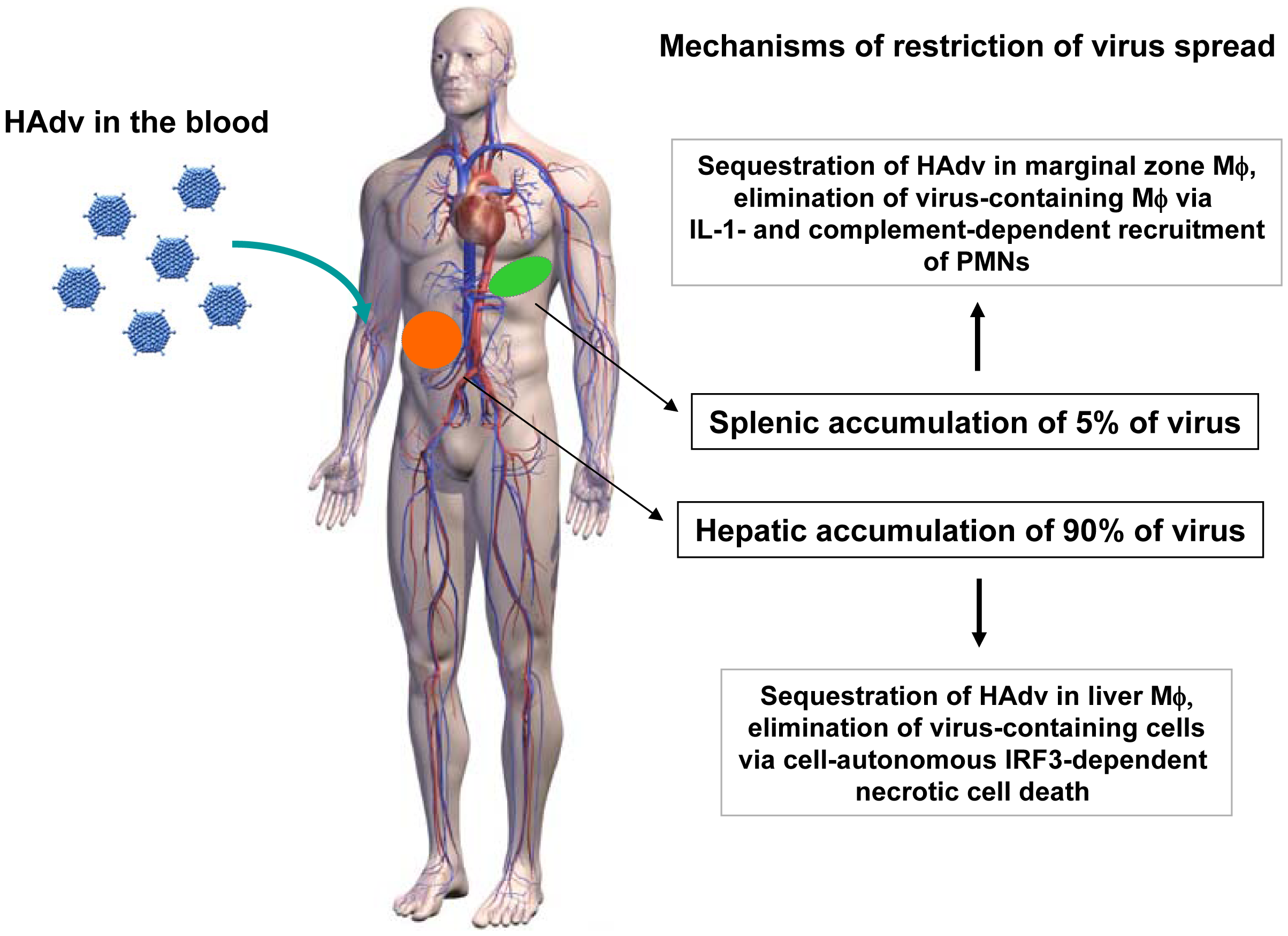 The model of distinct molecular mechanisms engaged by tissue residential macrophages in the liver and spleen to limit systemic spread of adenovirus.