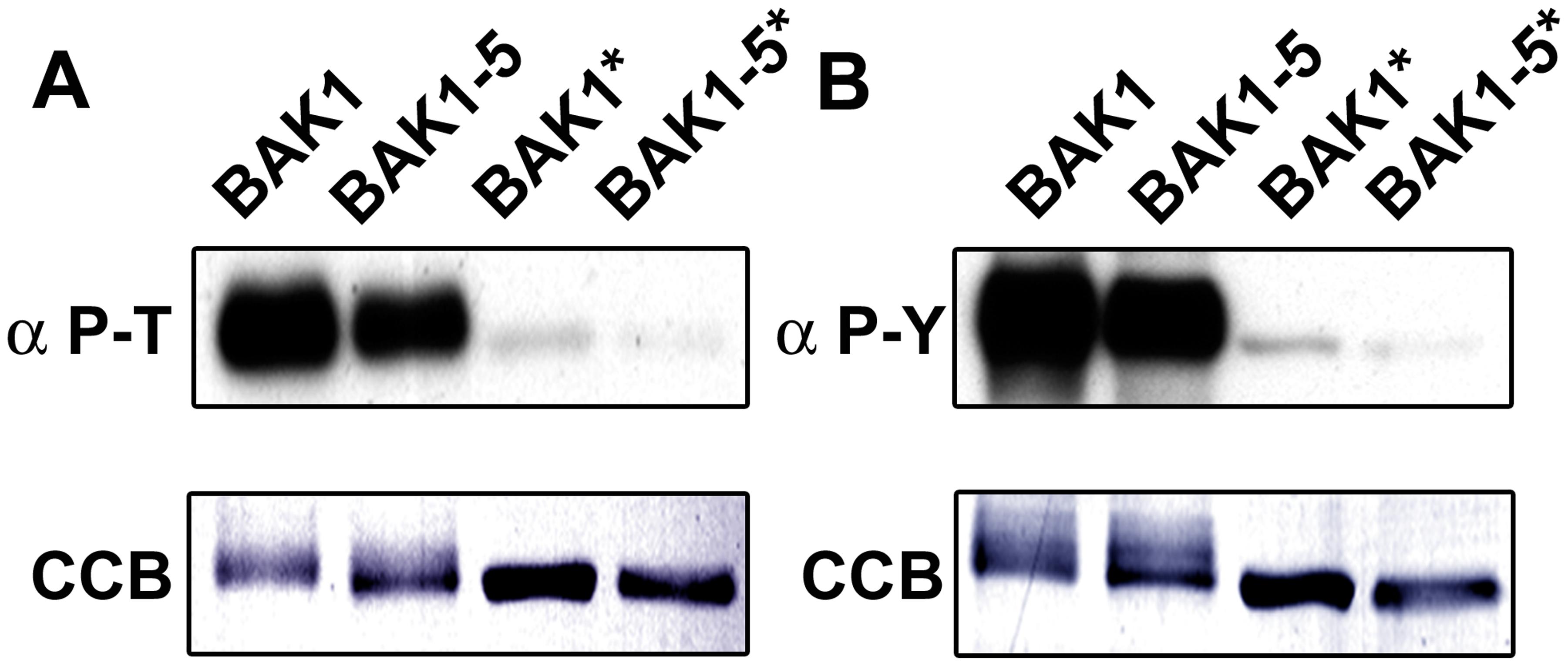 BAK1-5 is a hypoactive kinase <i>in vitro.</i>