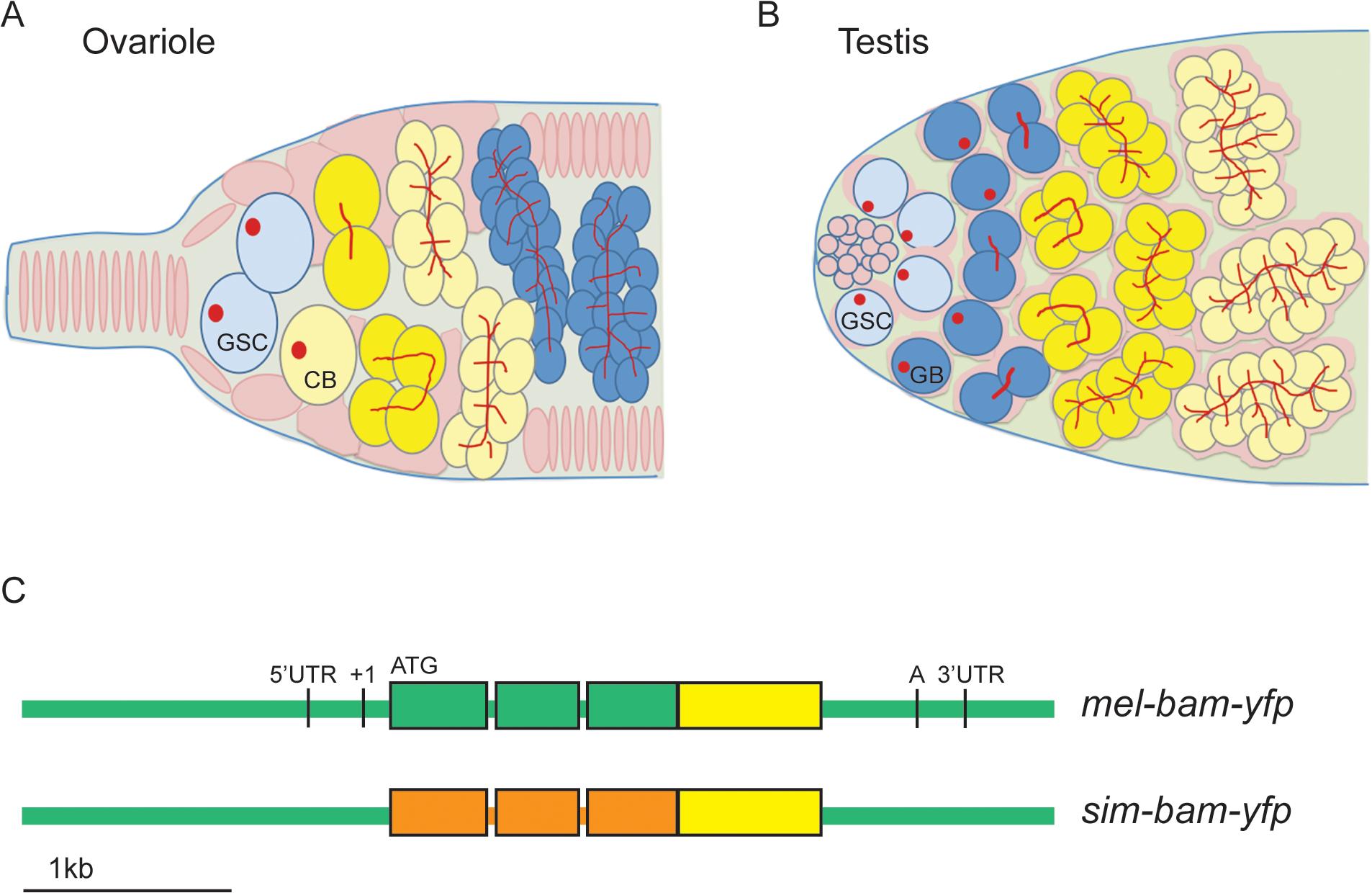 <i>bam</i> transgenic constructs.