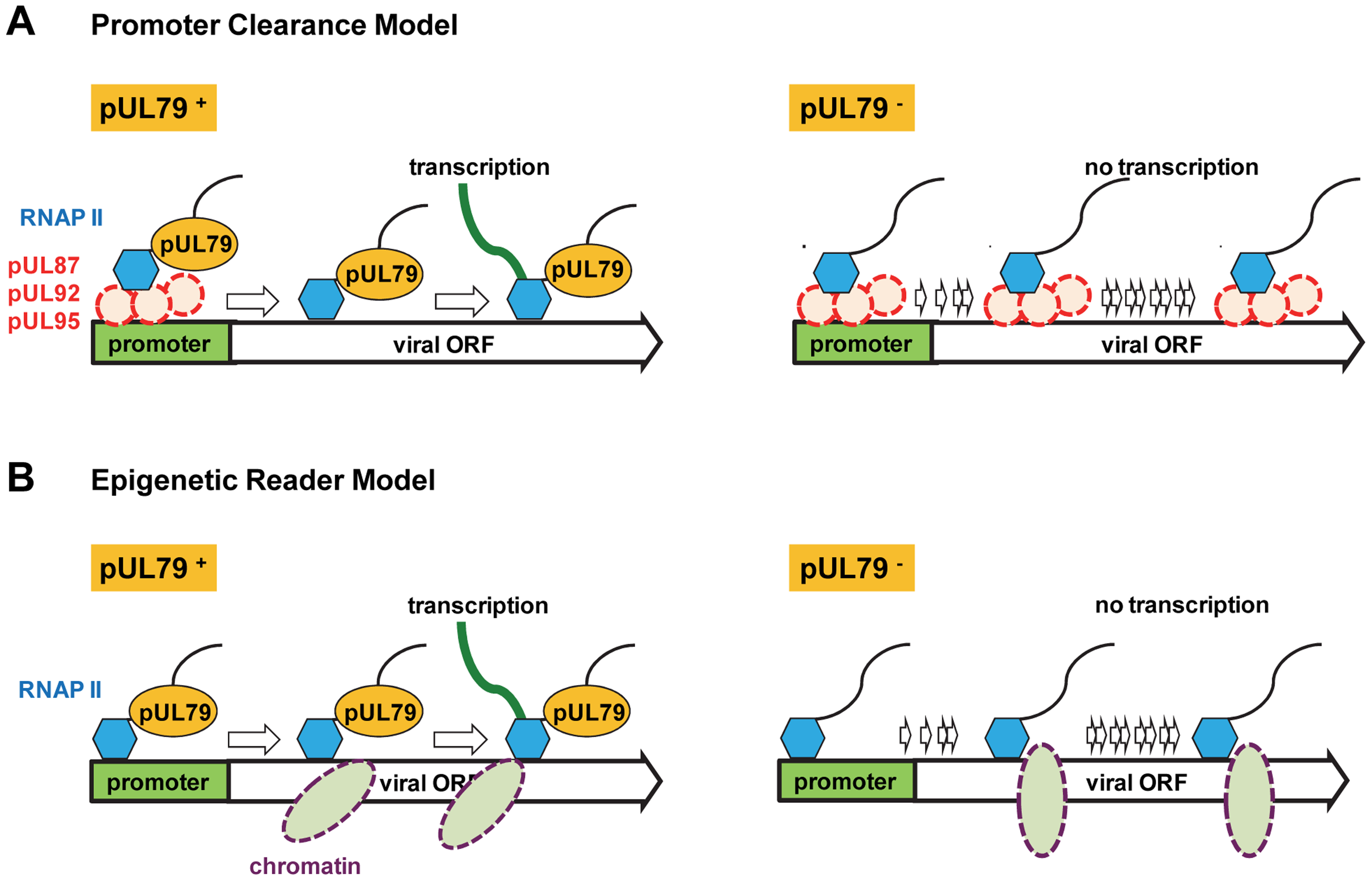 Potential role of pUL79 in RNAP II-mediated viral transcription.