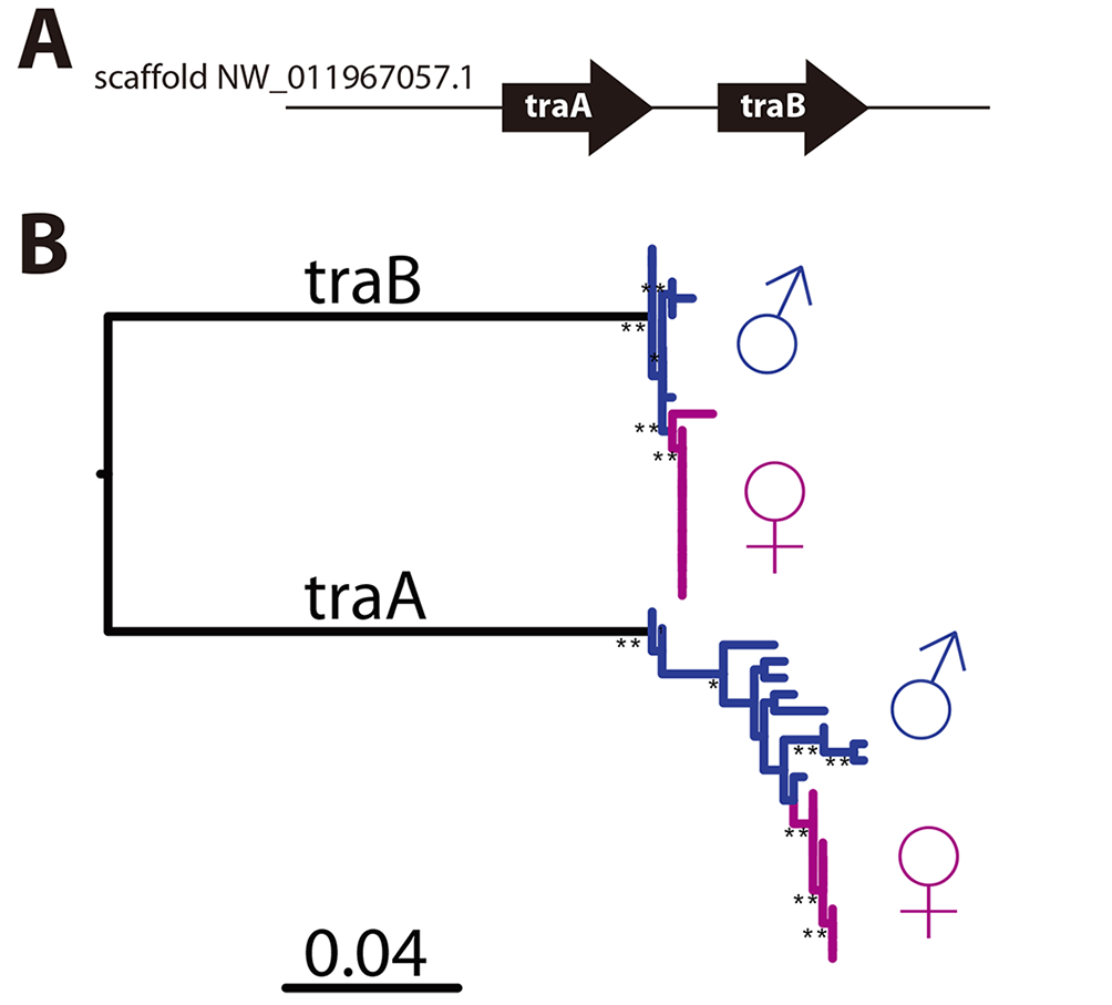 <i>CsdQTL1</i> contains csd/<i>fem</i> with separate alleles in males and queen clones.