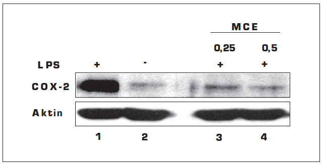 Vliv MCE na expresi COX-2 stimulovanou LPS v gingiválních fibroblastech