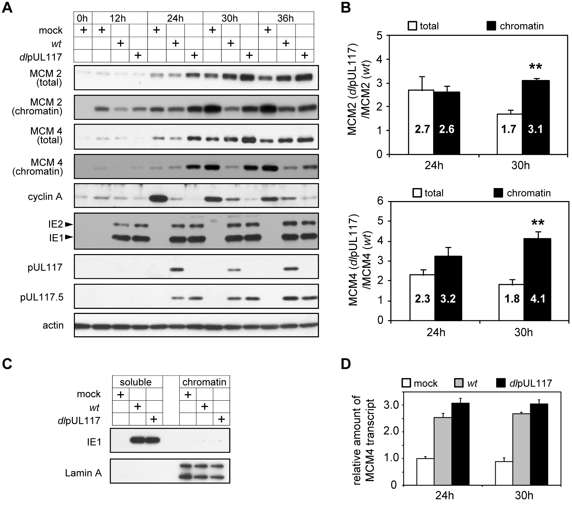pUL117-deficient virus failed to block accumulation and chromatin loading of MCM components.