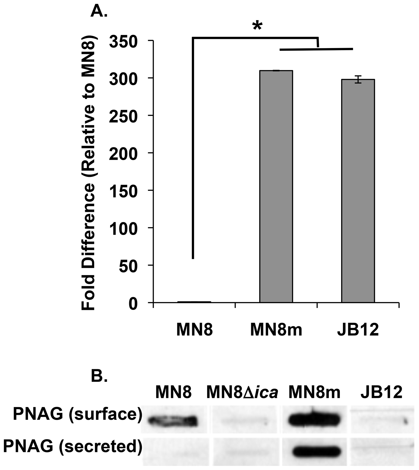 PIA/PNAG production in the non-mucoid variant.