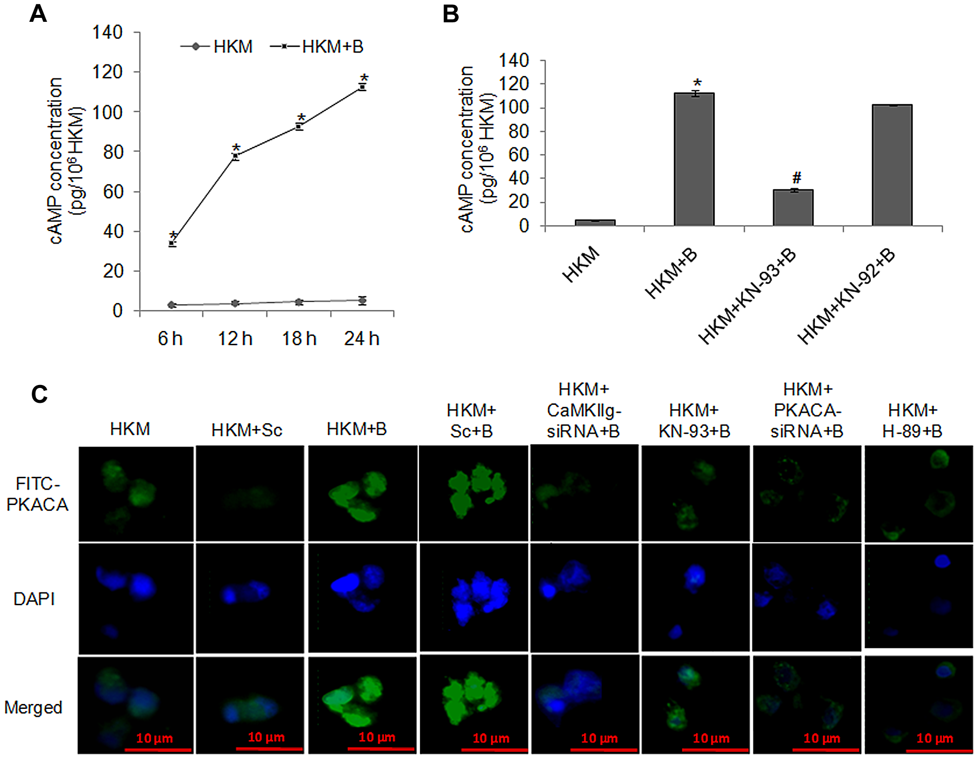 <i>A. hydrophila</i>-infection triggers cAMP release, induces activation and nuclear translocation of PKACA.