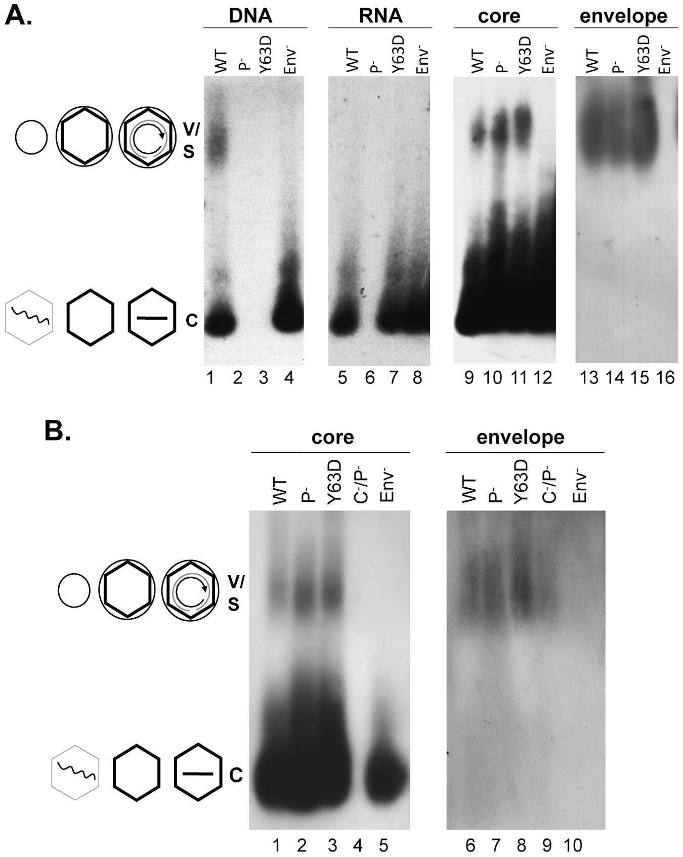 Analyses of HBV virion secretion by native agarose gel electrophoresis.
