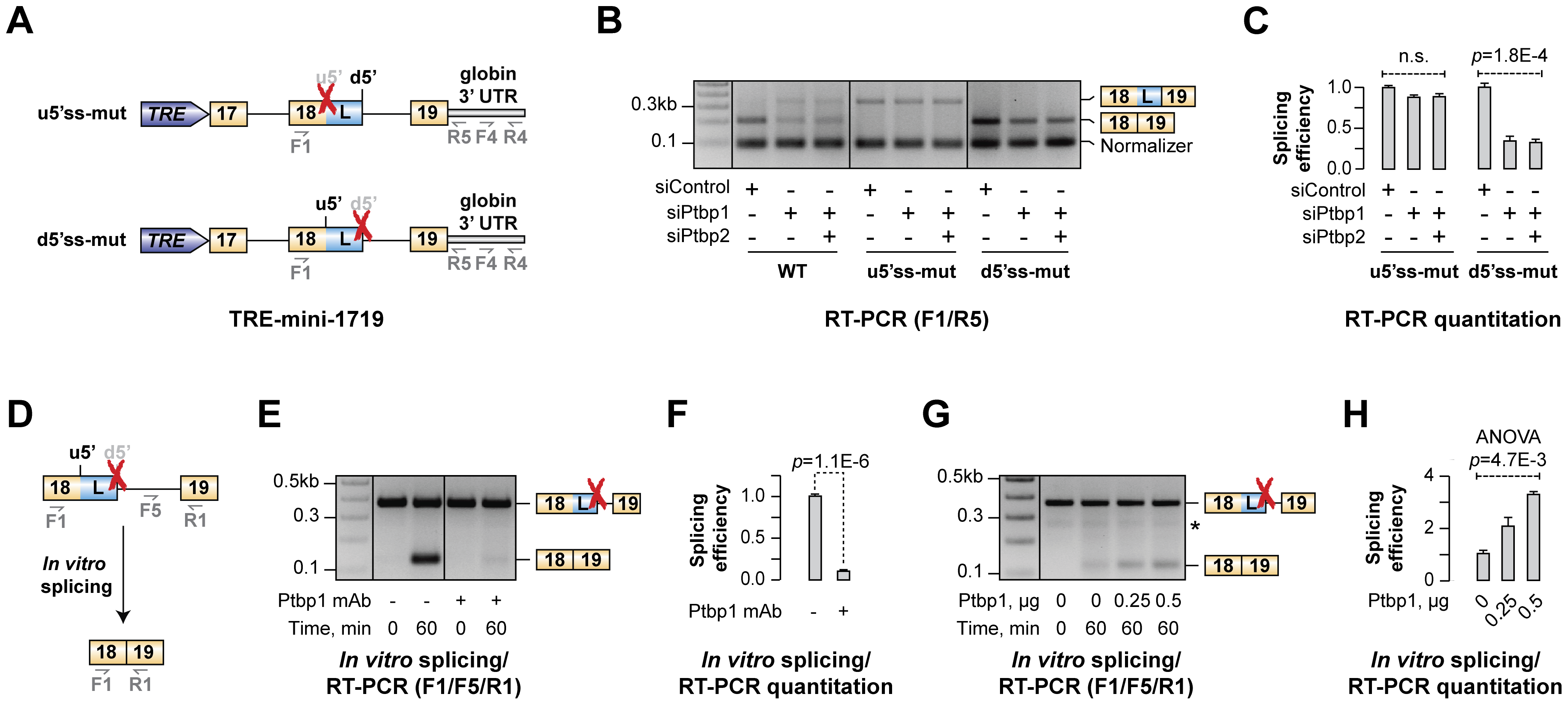 Ptbp1 functions by stimulating u5′ss usage rather than repressing d5′ss.