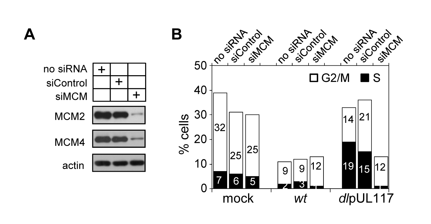 Knockdown of MCM2 and MCM4 restores the ability of pUL117-deficient virus to block host DNA synthesis.