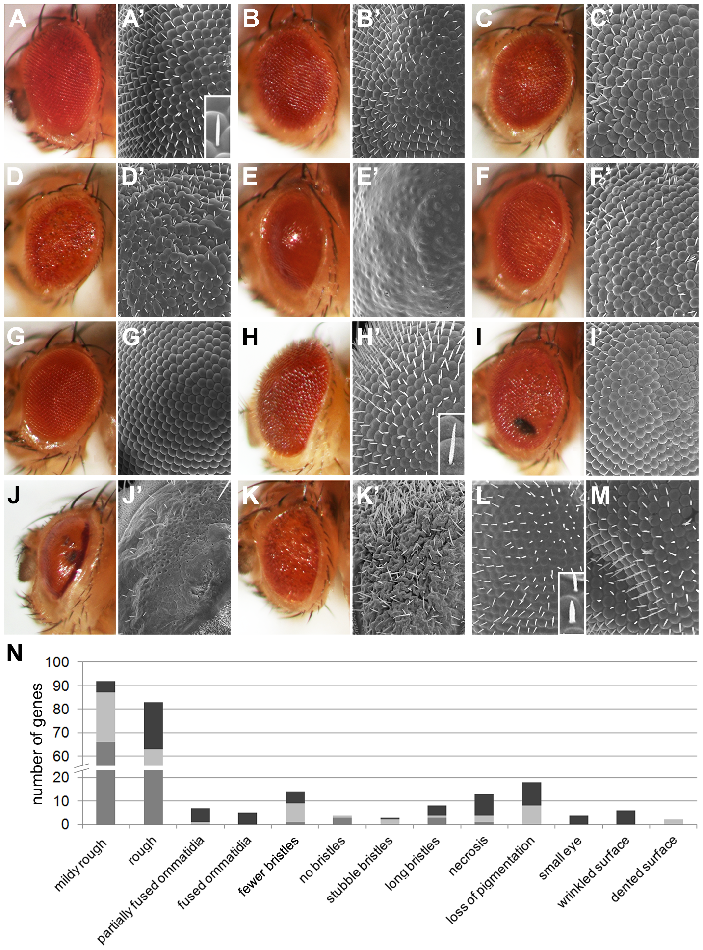 Eye morphology defects of <i>Drosophila</i> ID models.