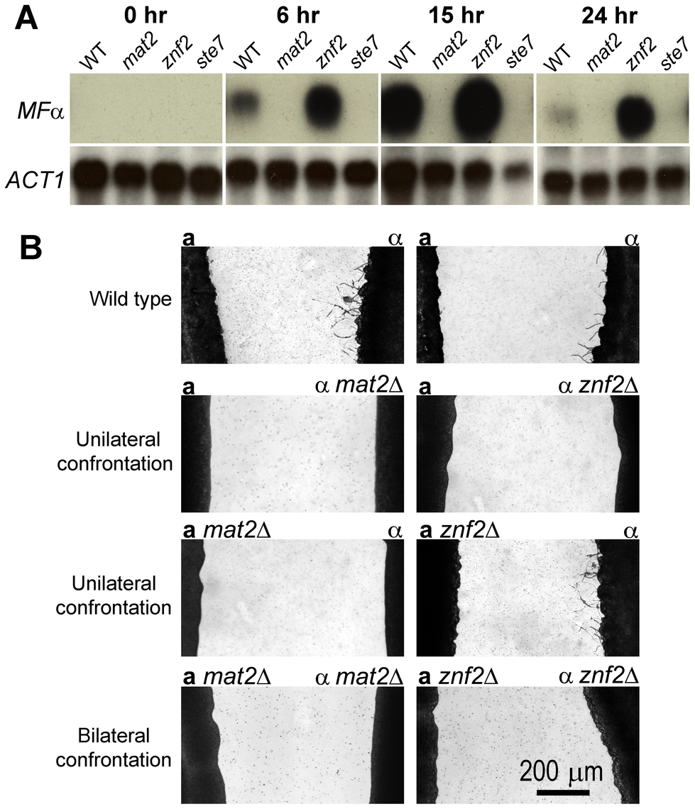 Mat2 is required for pheromone sensing and production, whereas Znf2 is dispensable for the response during a-α mating.