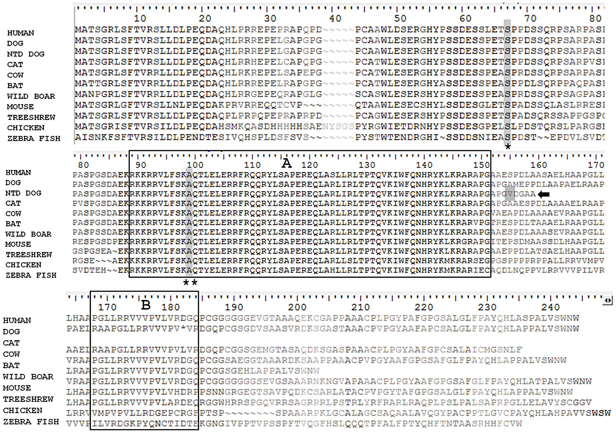 Comparison of the protein sequence of <i>NKX2-8</i> between human, unaffected dog, spinal dysraphism Weimaraner, cat, cow, bat, wild boar, mouse, tree-shrew, chicken and zebra fish.
