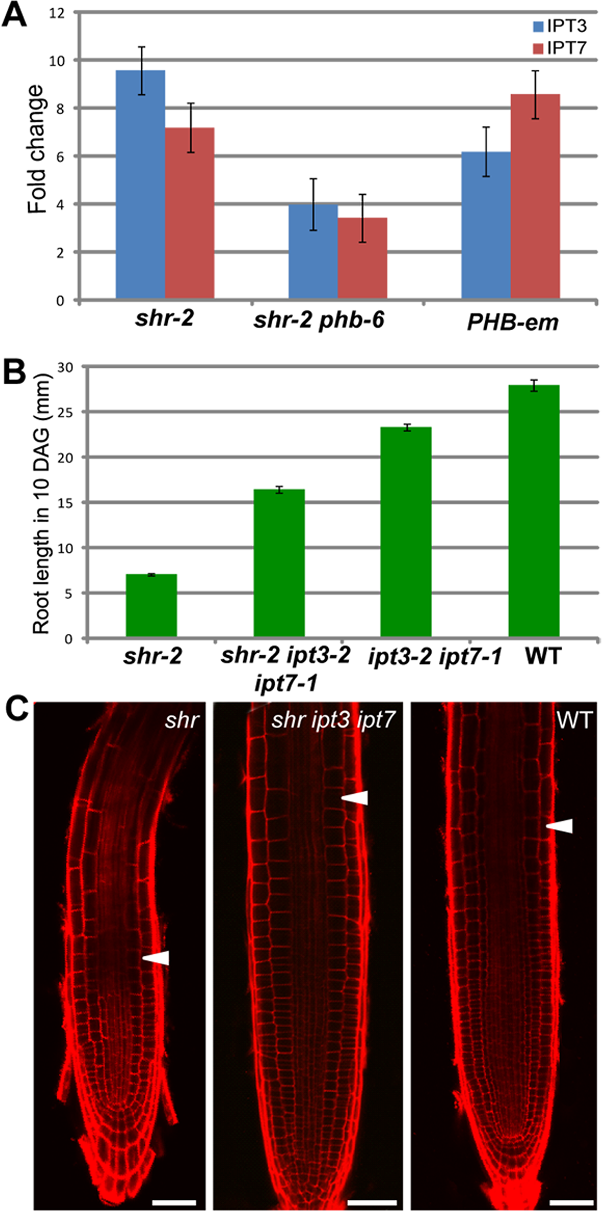The SHR-PHB pathway controls root growth in a cytokinin-dependent manner (A) Relative mRNA levels of <i>IPT3</i> and <i>IPT7</i> in <i>shr, shr phb</i>, and <i>pWOL:PHB-em:GFP</i><sub><i>NLS</i></sub> (<i>PHB-em</i>) roots.