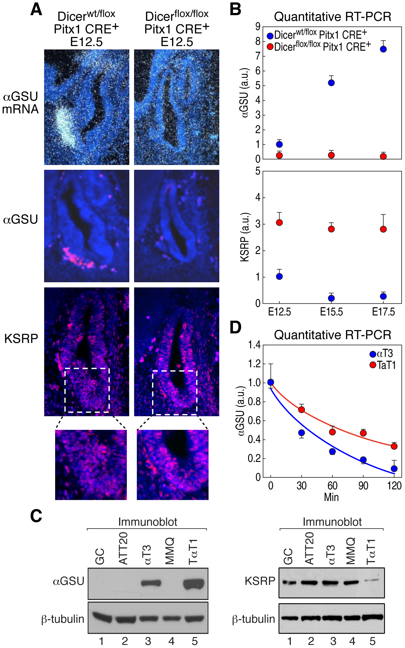 Dicer regulates αGSU and KSRP expression during pituitary development.