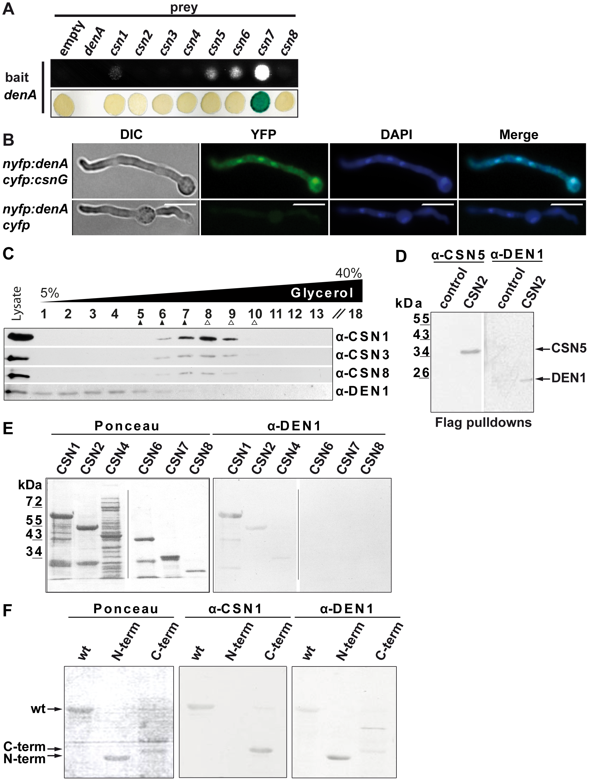 DEN1/DenA deneddylase interacts with the COP9 signalosome (CSN) in fungal and human cells.