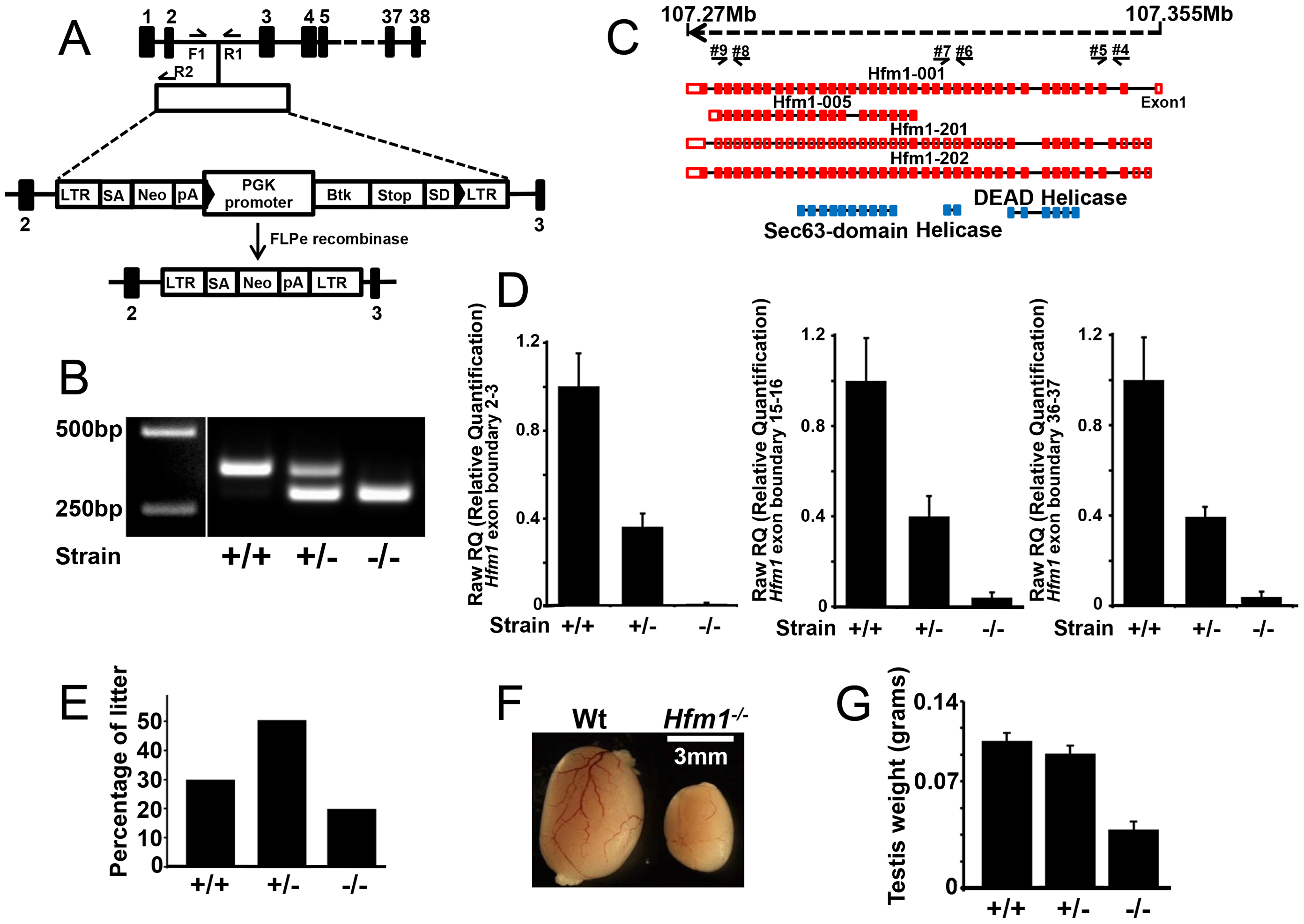 <i>Hfm1</i> gene target design and expression of <i>Hfm1</i> in mutant mice.