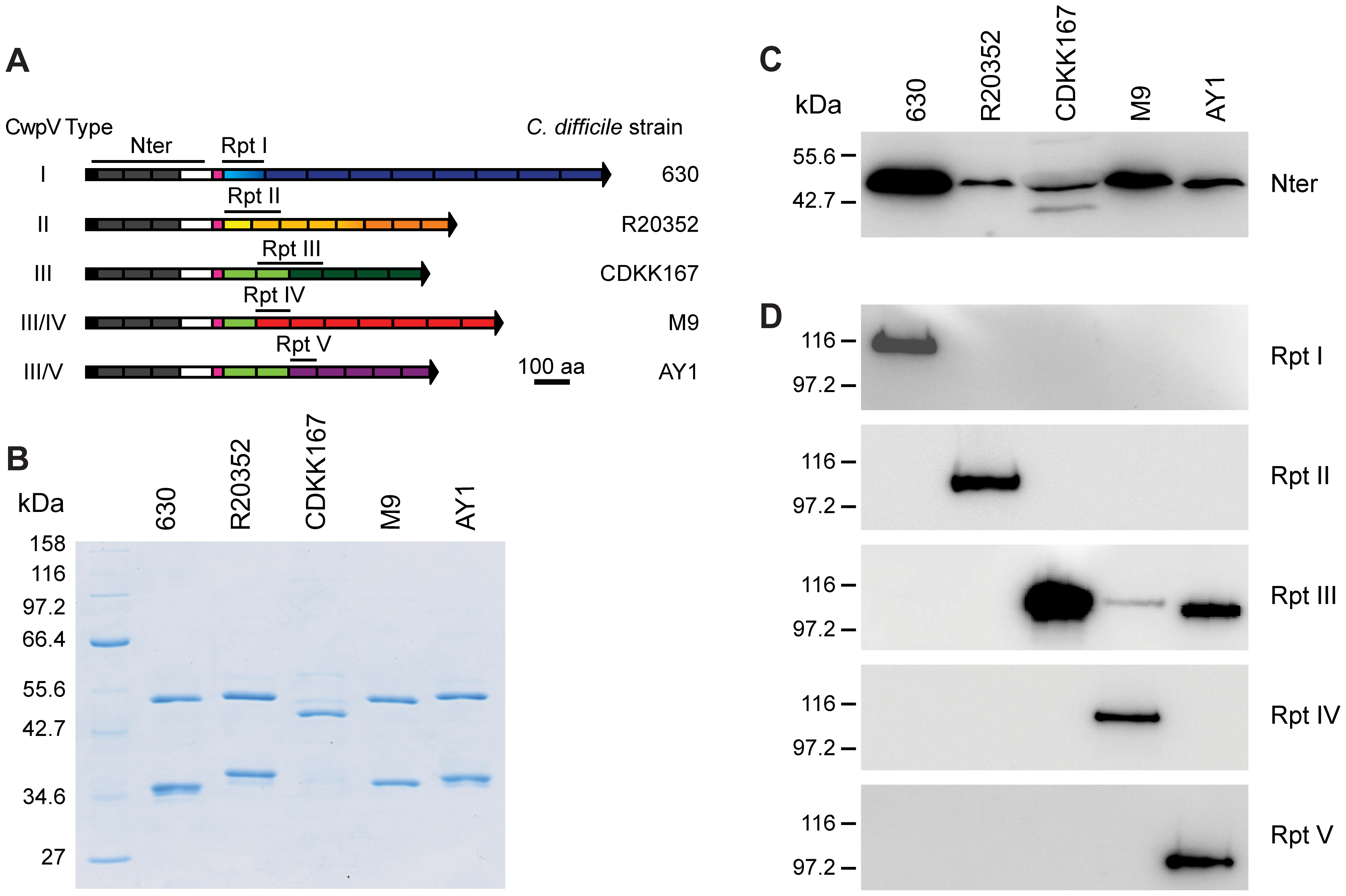 CwpV repeat types are antigenically distinct.
