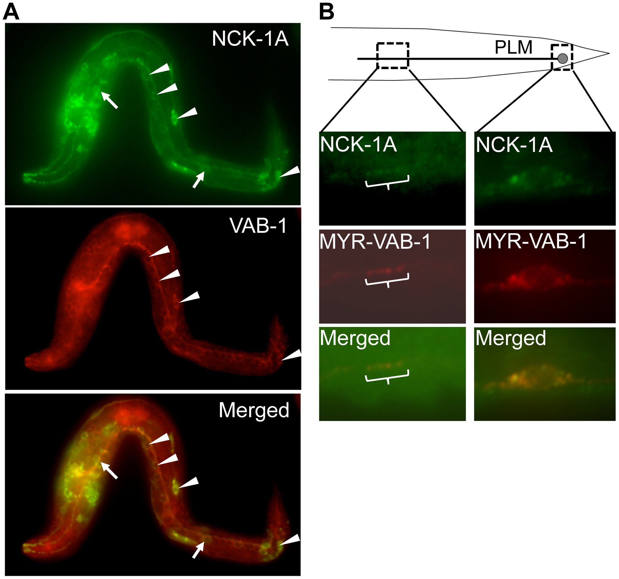 NCK-1 co-localizes with VAB-1.
