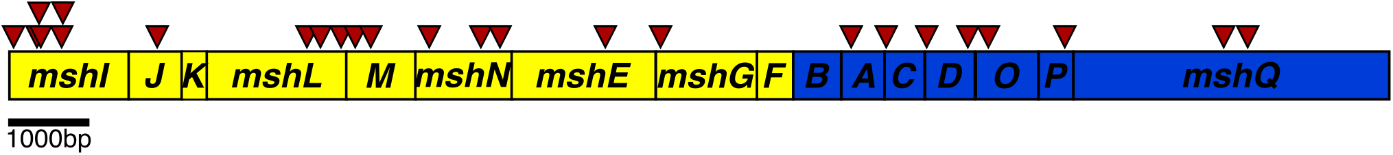 Schematic representation of the transposon insertions in the Msh operons.