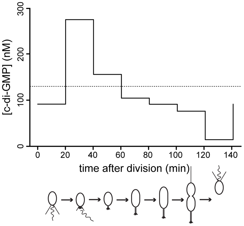 C-di-GMP oscillation during the <i>C. crescentus</i> cell cycle.