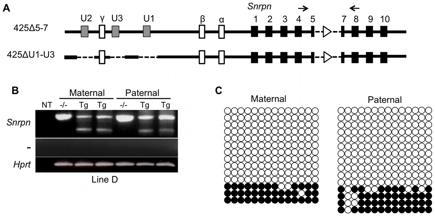 Analysis of imprinting of the 425ΔU1-U3D BAC transgene.