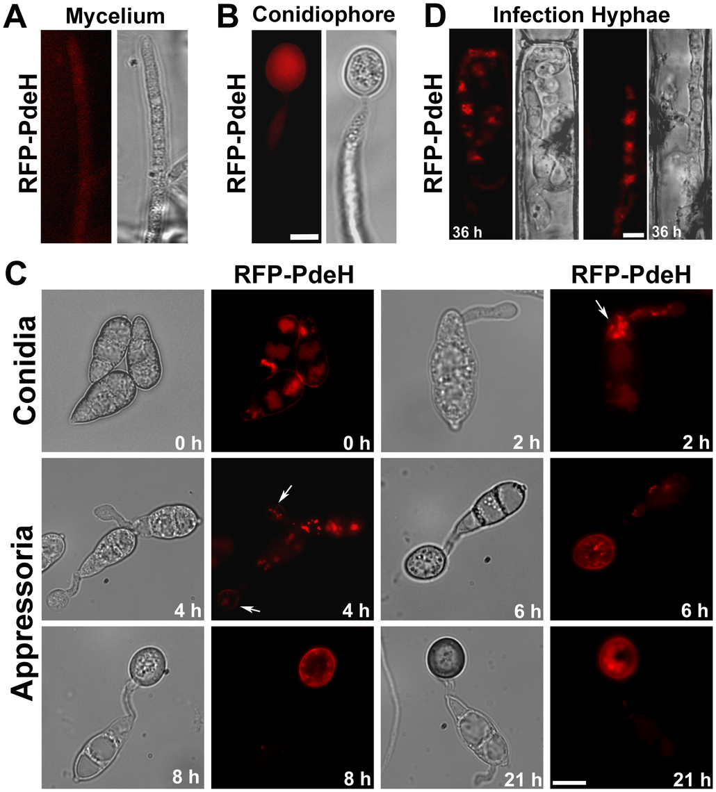 Subcellular distribution of RFP-PdeH fusion protein during different stages of pathogenic and asexual development.