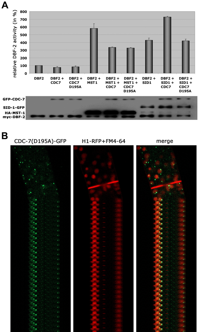 The regulation of MST-1 and SID-1 by CDC-7 is based on distinct mechanisms.