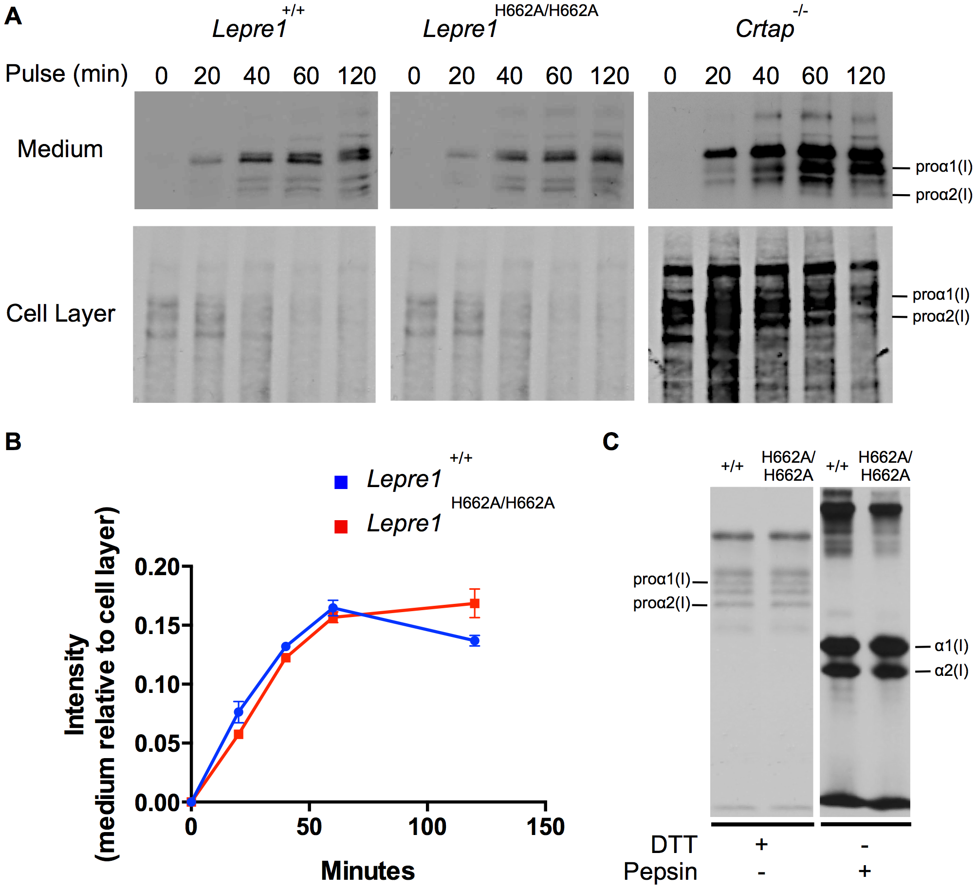 <i>Lepre1<sup>H662A/H662A</sup></i> fibroblast procollagen secretion rate and collagen modification is normal.