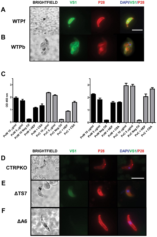 VS1 binds to critical <i>Plasmodium</i> micronemal proteins.