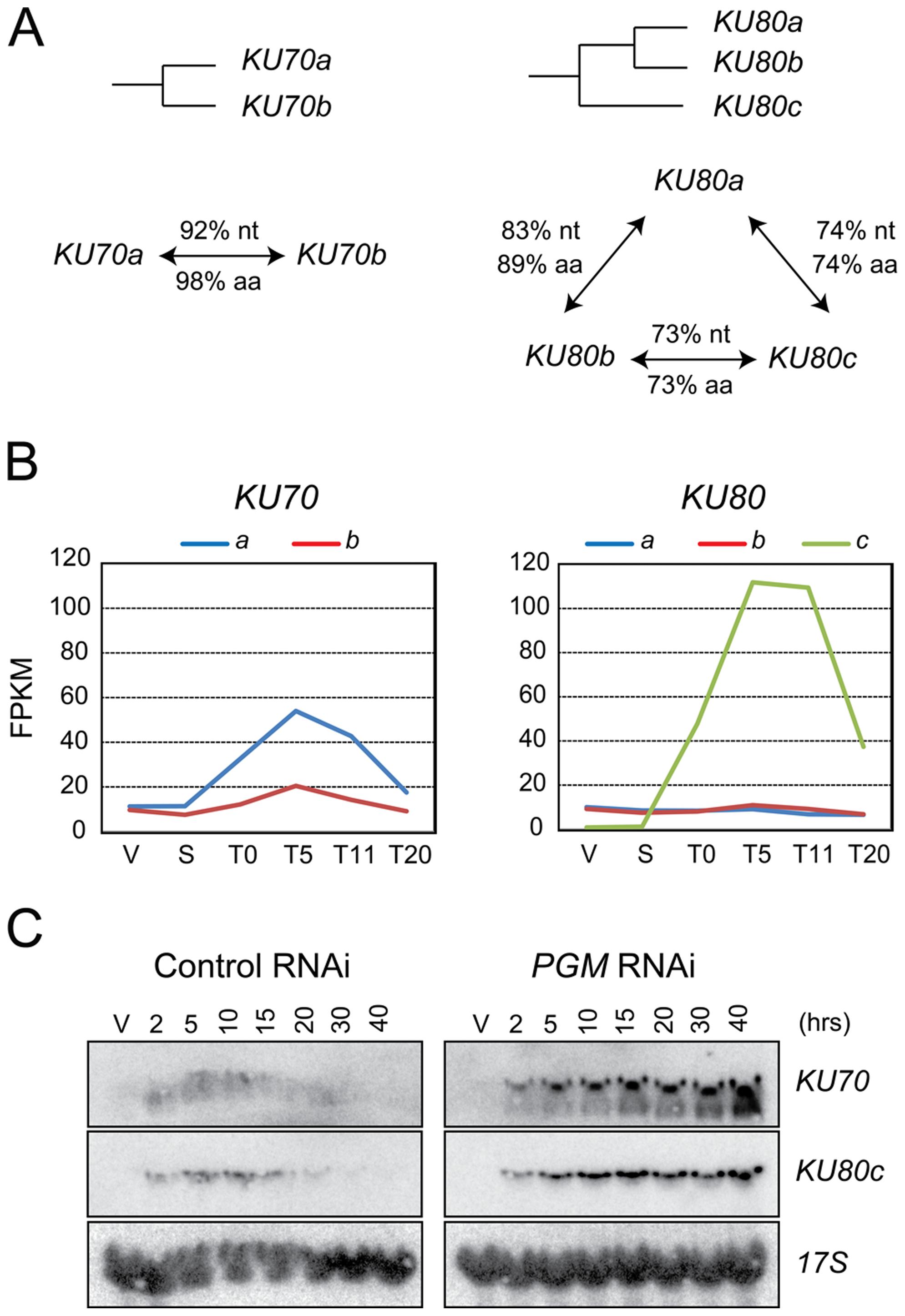 <i>KU70</i> and <i>KU80</i> genes in <i>P. tetraurelia</i>.
