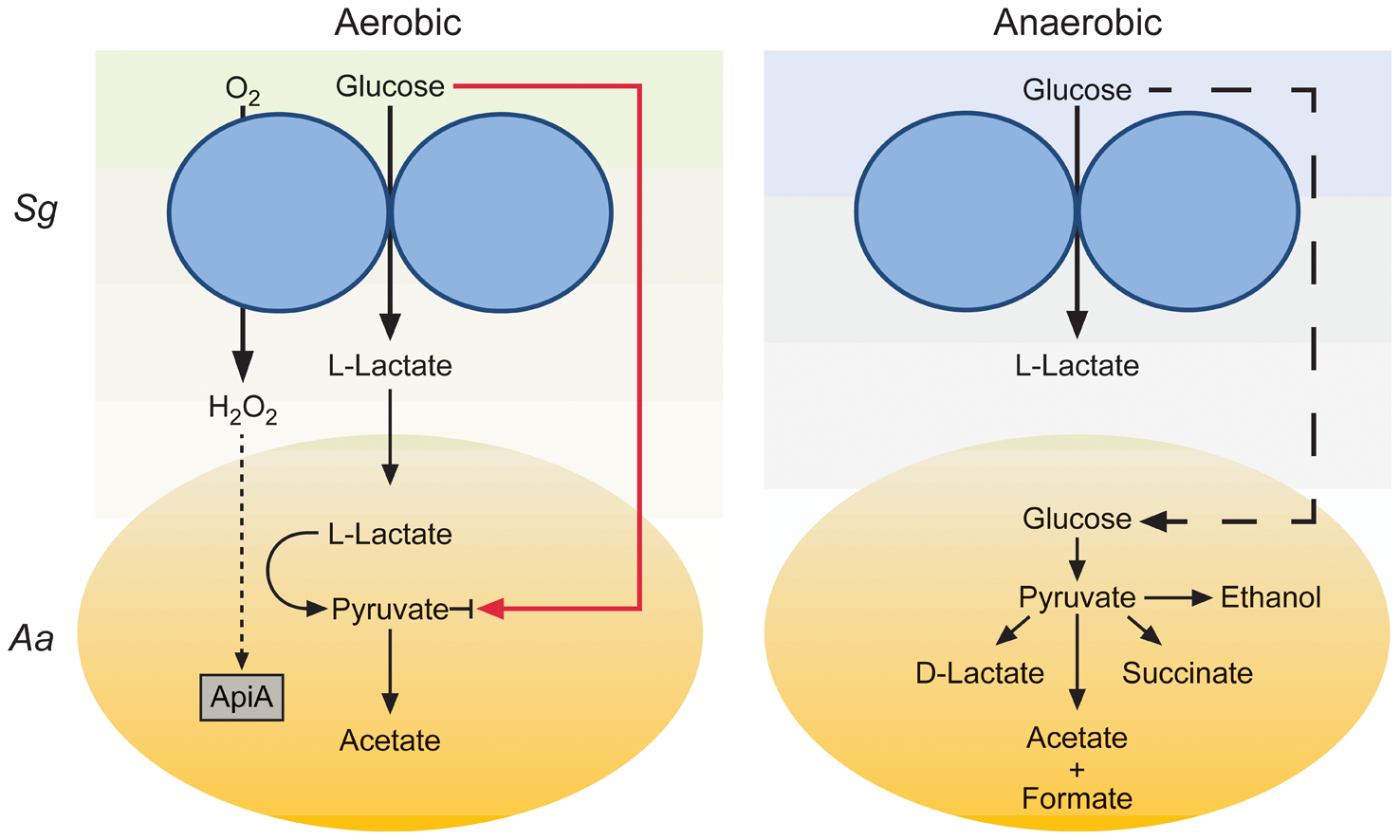 Model for enhanced persistence of <i>A. actinomycetemcomitans</i> during aerobic co-culture with <i>S. gordonii</i>.