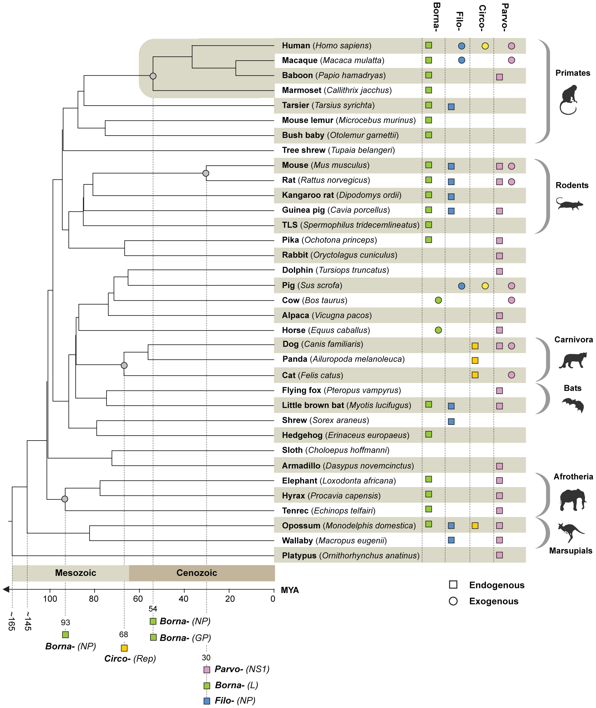 Timescaled phylogenetic tree of mammals screened in this study (after Bininda-Emonds <i>et al</i> <em class=&quot;ref&quot;>[<b>42</b>]</em>) showing the known distribution of EVEs and of exogenous Borna-, Filo-, Circo-, and Parvoviruses.