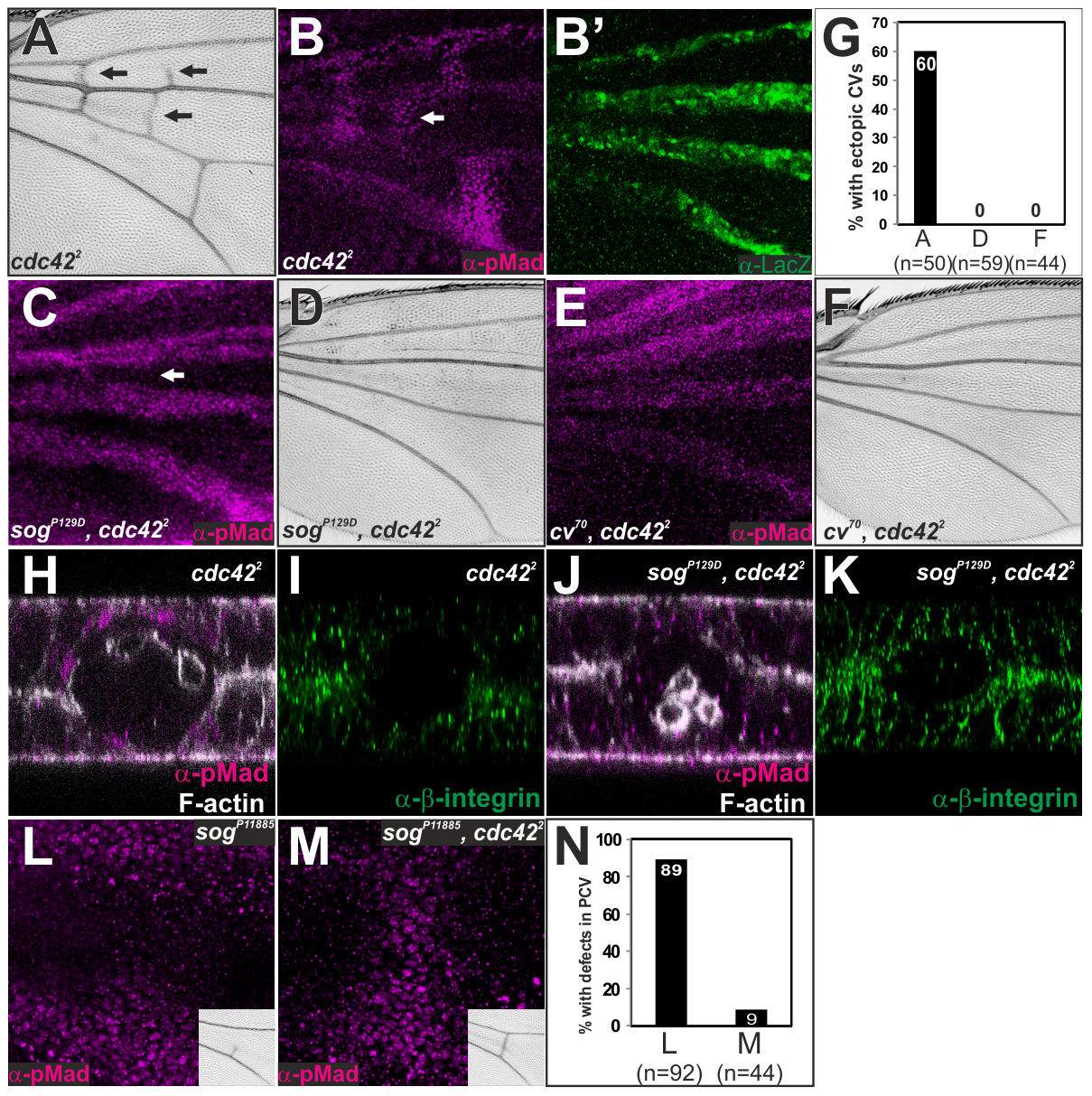 Sog-Cv-dependent BMP signaling is induced along ectopic wing vein morphogenesis by loss of <i>cdc42</i>.