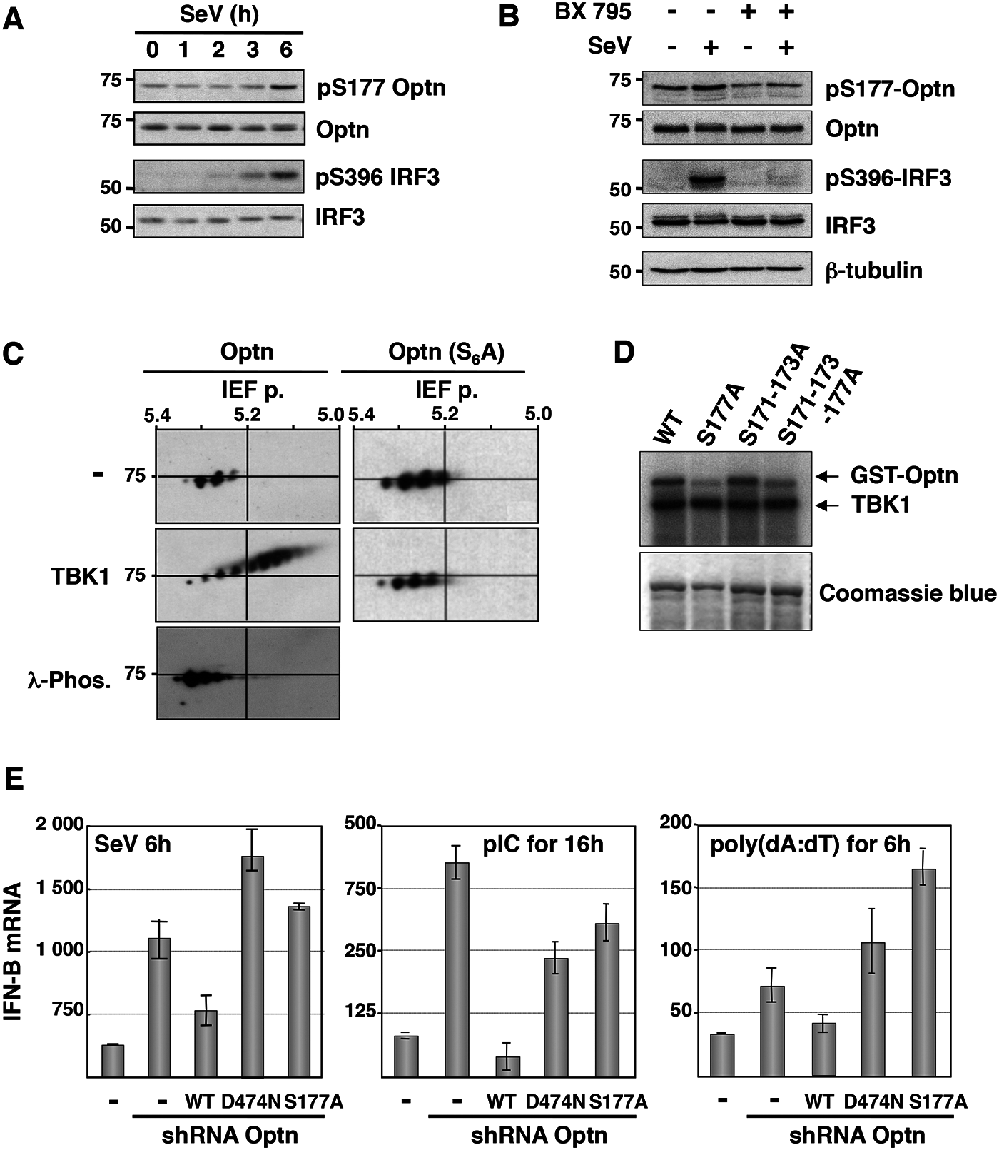 Optn negative effect on the virus-induced interferon pathway requires its phosphorylation and ubiquitin-binding activity.