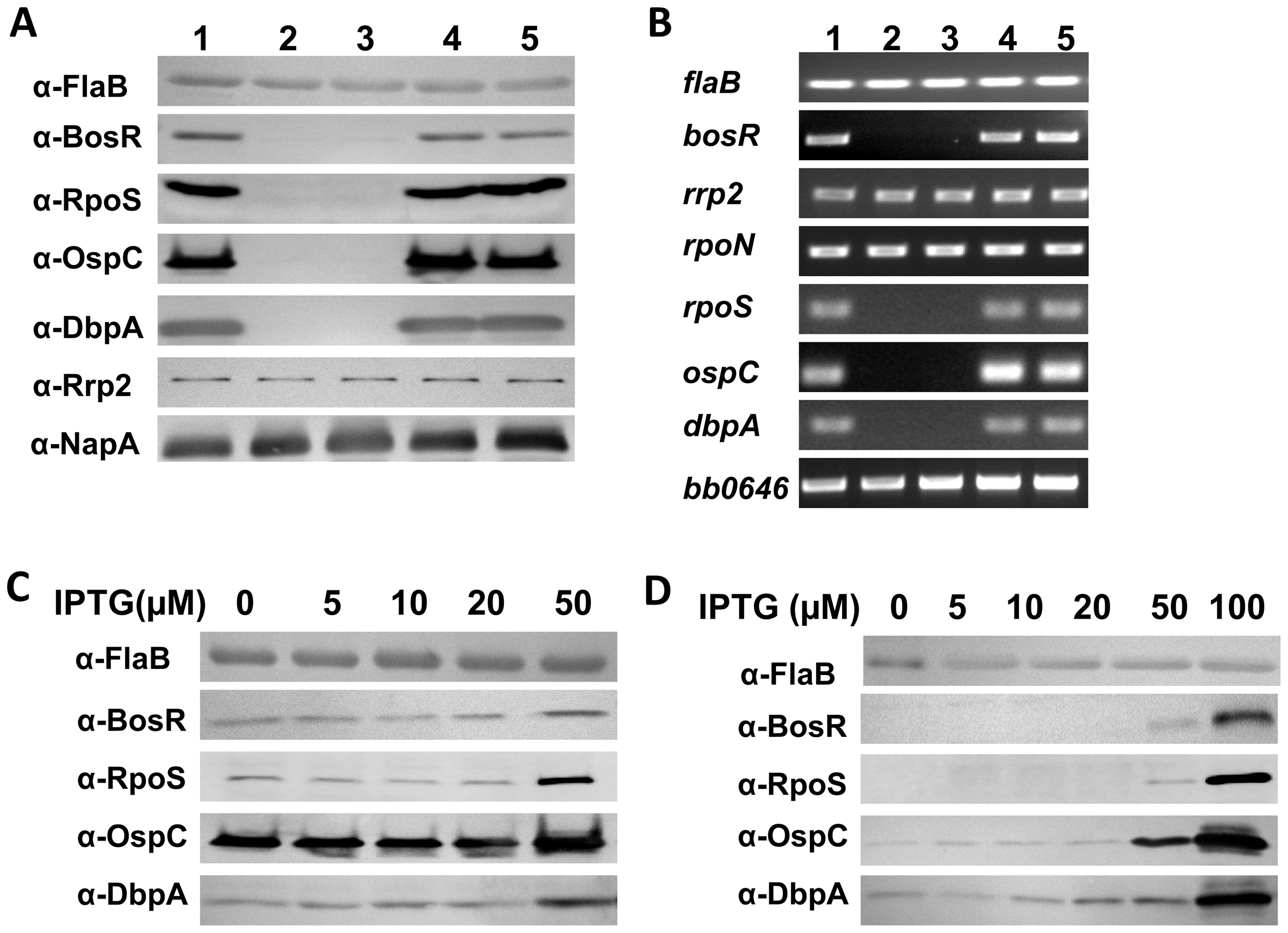 BosR activates the expression of <i>rpoS</i>, <i>ospC</i> and <i>dbpA</i>.