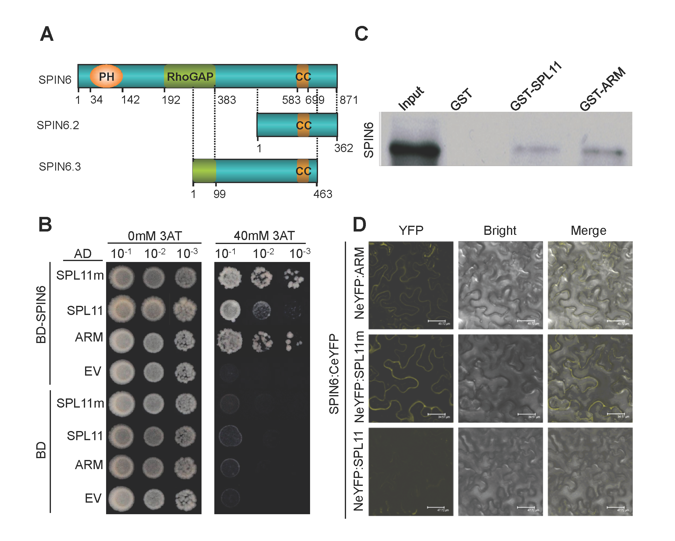 SPIN6 is a Rho GTPase-activating protein (RhoGAP) and interacts with SPL11 <i>in vitro</i> and <i>in vivo</i>.