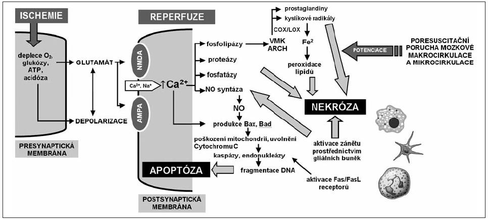 Celulární a subcelulární mechanismy ischemicko-reperfuzního poškození mozku ATP – adenosintrifosfát, NMDA – N-metyl-D-aspartátový receptor, AMPA – amino-3-hydroxy-5-metylisoxazole-4-propionátový receptor, NO – oxid dusnatý, VMK – volné mastné kyseliny, ARCH – kyselina arachidonová, COX – cyklooxygenáza, LOX – lipooxygenáza, DNA – kyselina deoxyribonukleová