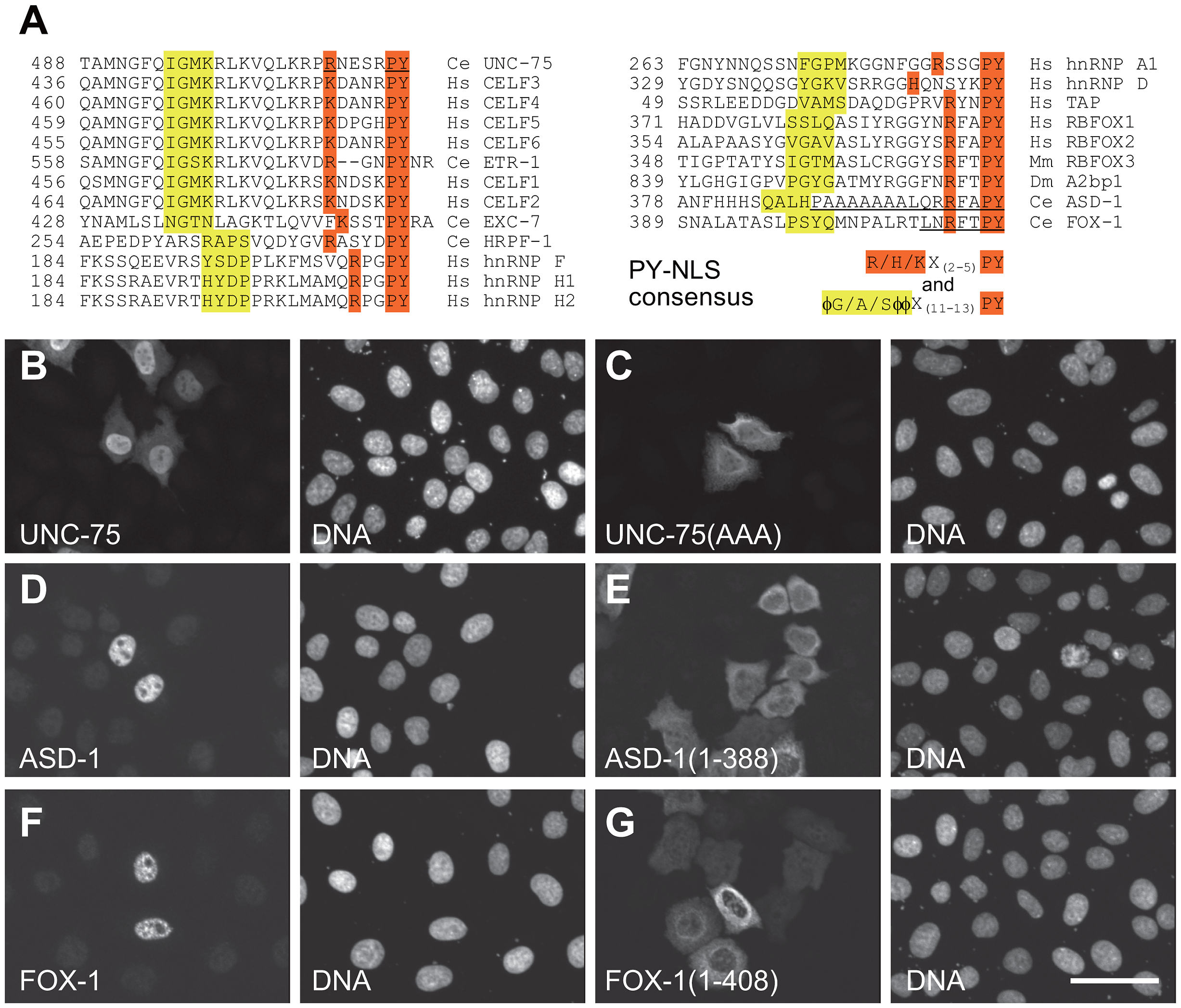 The C-termini of UNC-75, ASD-1, and FOX-1 are the evolutionarily conserved nuclear localization signals.